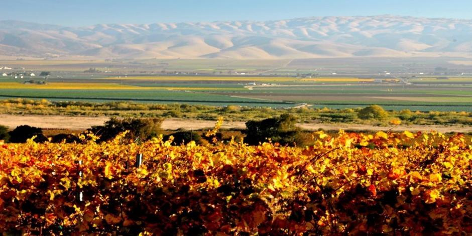 Overview of vineyard in fall colors - looking over Salinas Valley near Gonzales
