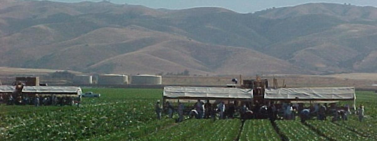 Machines and crews harvesting celery on Johnson Canyon Road