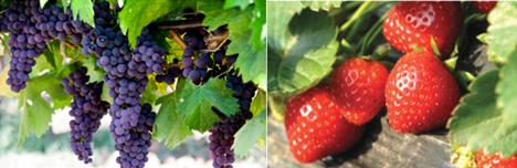 Grapes on the vine and strawberries on the plant
